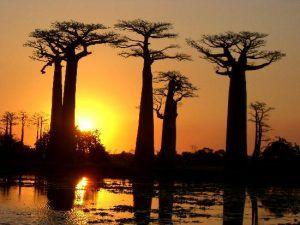 allée des baobabs coucher soleil
